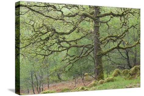 Sessile Oak Tree (Quercus Petraea) in Spring, Sunart Oakwoods, Ardnamurchan, Highland, Scotland, UK-Peter Cairns-Stretched Canvas Print