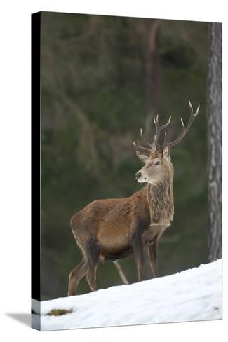 Red Deer (Cervus Elaphus) Stag in Pine Woodland in Winter, Cairngorms National Park, Scotland, UK-Mark Hamblin-Stretched Canvas Print