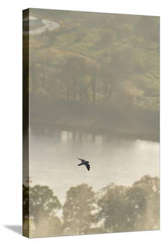 Peregrine Falcon (Falco Peregrinus) in Flight over the River Tay, Perthshire, Scotland, UK-Fergus Gill-Stretched Canvas Print