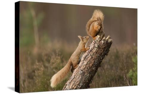Red Squirrel (Sciurus Vulgaris) Approaching Another as it Eats a Nut, Cairngorms Np, Scotland-Peter Cairns-Stretched Canvas Print