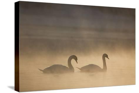 Mute Swan (Cygnus Olor) Pair on Water in Winter Dawn Mist, Loch Insh, Cairngorms Np, Highlands, UK-Peter Cairns-Stretched Canvas Print