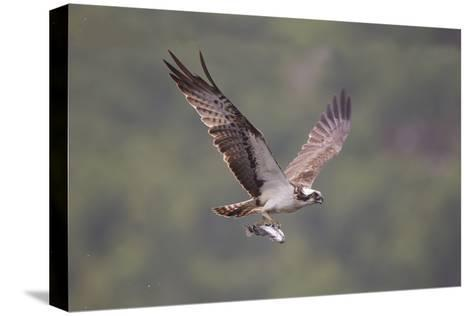 Osprey (Pandion Haliaeetus) in Flight, Fishing at Dawn, Rothiemurchus, Cairngorms Np, Scotland, UK-Peter Cairns-Stretched Canvas Print