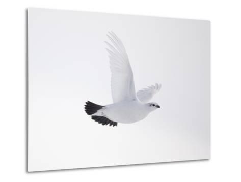 Rock Ptarmigan (Lagopus Mutus) Female in Flight, Winter Plumage, Cairngorms Np, Highland, UK-Peter Cairns-Metal Print
