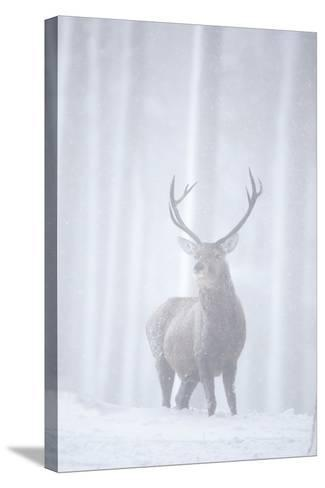 Red Deer (Cervus Elaphus) Stag in Pine Forest in Snow Blizzard, Cairngorms Np, Scotland, UK-Peter Cairns-Stretched Canvas Print