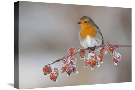 Adult Robin (Erithacus Rubecula) in Winter, Perched on Twig with Frozen Crab Apples, Scotland, UK-Mark Hamblin-Stretched Canvas Print