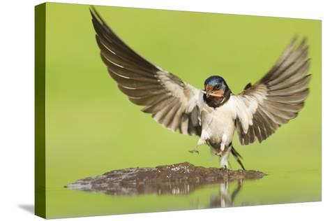Barn Swallow (Hirundo Rustica) Collecting Mud for Nest Building. Inverness-Shire, Scotland, June-Mark Hamblin-Stretched Canvas Print