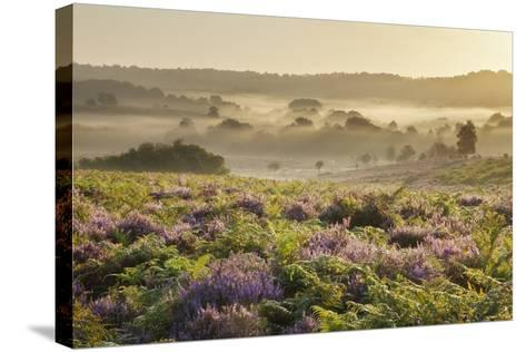 New Forest Heathland with Ling (Calluna Vulgaris) and Bell Heather (Erica Cinerea) Hampshire, UK-Guy Edwardes-Stretched Canvas Print