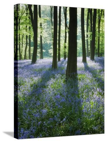 A Carpet of Bluebells (Endymion Nonscriptus) in Beech (Fagus Sylvatica) Woodland, Hampshire, UK-Guy Edwardes-Stretched Canvas Print