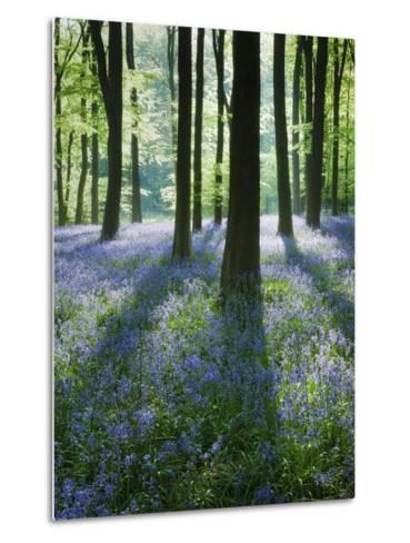 A Carpet of Bluebells (Endymion Nonscriptus) in Beech (Fagus Sylvatica) Woodland, Hampshire, UK-Guy Edwardes-Metal Print