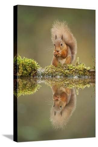 Red Squirrel (Sciurus Vulgaris) at Woodland Pool, Feeding on Nut, Scotland, UK, November-Mark Hamblin-Stretched Canvas Print