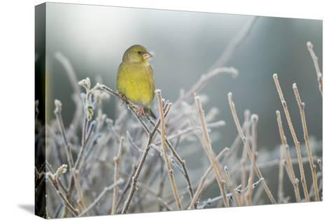 Greenfinch (Carduelis Chloris) Male Perched in Hedgerow in Frost, Scotland, UK, December-Mark Hamblin-Stretched Canvas Print