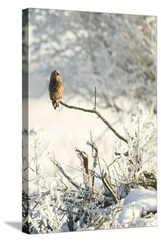 Short-Eared Owl (Asio Flammeus) Perched on a Branch, Worlaby Carr, Lincolnshire, England, UK-Danny Green-Stretched Canvas Print