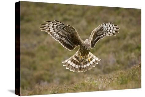 Hen Harrier (Circus Cyaneus) Hovering over Moorland, Glen Tanar Estate, Deeside, Scotland, UK-Mark Hamblin-Stretched Canvas Print