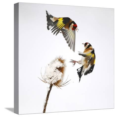 Goldfinches (Carduelis Carduelis) Squabbling over Teasel Seeds in Winter. Cambridgeshire, UK-Mark Hamblin-Stretched Canvas Print