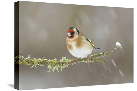 Goldfinch (Carduelis Carduelis) Perched on Branch in Snow, Scotland, UK, December-Mark Hamblin-Stretched Canvas Print