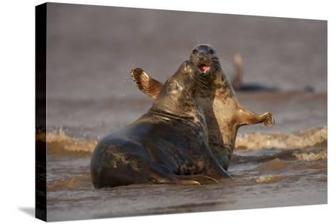 Grey Seals (Halichoerus Grypus) Fighting, Donna Nook, Lincolnshire, England, UK, October-Danny Green-Stretched Canvas Print