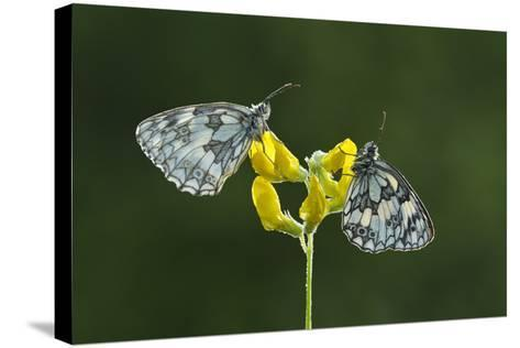 Two Marbled White Butterflies Resting on Meadow Vetchling, Powerstock Common Dwt Reserve, UK-Guy Edwardes-Stretched Canvas Print