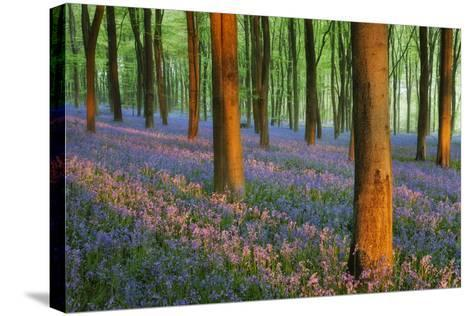 Carpet of Bluebells (Endymion Nonscriptus) in Beech (Fagus Sylvatica) Woodland at Dawn, UK-Guy Edwardes-Stretched Canvas Print