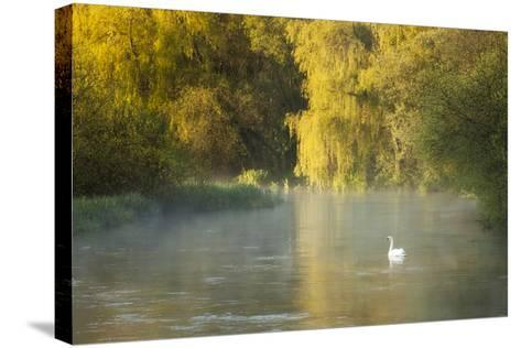 Mute Swan (Cygnus Olor) on the River Itchen at Dawn, Ovington, Hampshire, England, UK, May-Guy Edwardes-Stretched Canvas Print