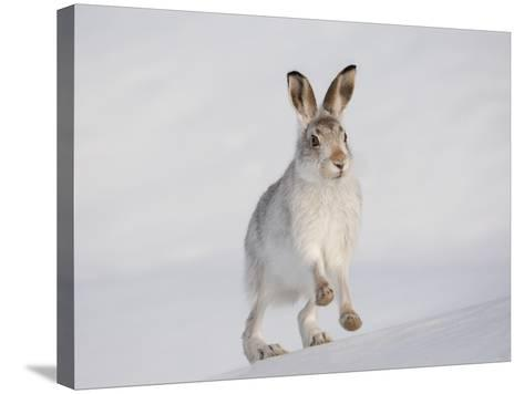 Mountain Hare (Lepus Timidus) Running Up a Snow-Covered Slope, Scotland, UK, February-Mark Hamblin-Stretched Canvas Print