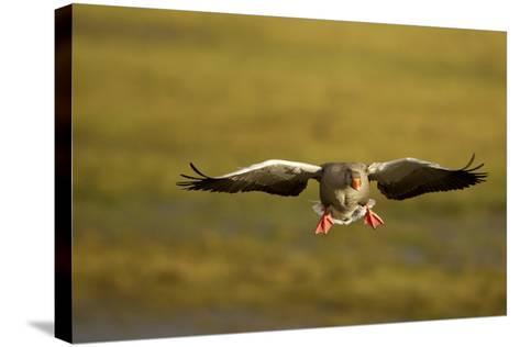 Greylag Goose (Anser Anser) in Flight, Caerlaverock Wwt, Scotland, Solway, UK, January-Danny Green-Stretched Canvas Print
