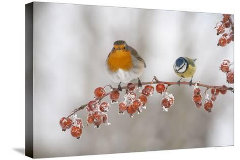 Robin (Erithacus Rubecula) and Blue Tit (Parus Caeruleus) in Winter, Perched on Twig, Scotland, UK-Mark Hamblin-Stretched Canvas Print