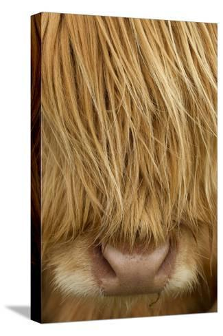 Close-Up of Highland Cow (Bos Taurus) Showing Thick Insulating Hair, Isle of Lewis, Scotland, UK-Peter Cairns-Stretched Canvas Print