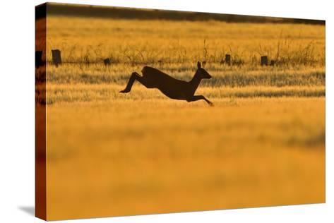 Roe Deer (Capreolus Capreolus) Doe Leaping Through Barley Field in Dawn Light. Perthshire, Scotland-Fergus Gill-Stretched Canvas Print