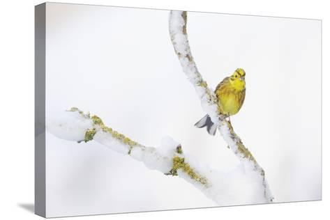 Yellowhammer (Emberiza Citrinella) Perched on Snowy Branch. Perthshire, Scotland, UK, February-Fergus Gill-Stretched Canvas Print