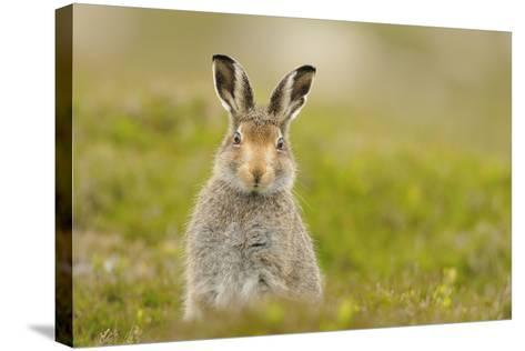 Mountain Hare (Lepus Timidus) Sub-Adult Leveret, Cairngorms National Park, Scotland, UK, July-Fergus Gill-Stretched Canvas Print