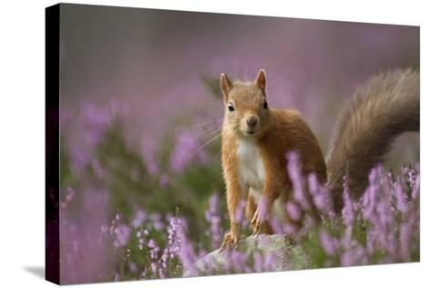 Red Squirrel (Sciurus Vulgaris) in Flowering Heather. Inshriach Forest, Scotland, UK, September-Pete Cairns-Stretched Canvas Print