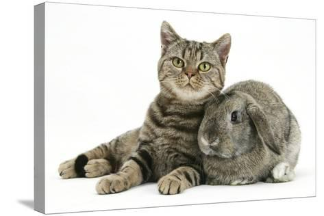 British Shorthair Brown Spotted Cat, Tiger Lily, with Agouti Lop Rabbit-Mark Taylor-Stretched Canvas Print