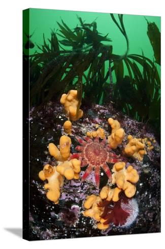Red Sunstar (Crossaster Papposus) Amongst Dead Man's Fingers (Alcyonium Sp) Shetland Islands, UK-Alex Mustard-Stretched Canvas Print