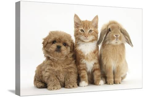 Peekapoo (Pekingese X Poodle) Puppy, Ginger Kitten and Sandy Lop Rabbit, Sitting Together-Mark Taylor-Stretched Canvas Print