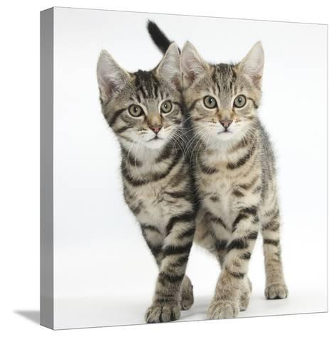 Tabby Kittens, Stanley and Fosset, 12 Weeks, Walking Together in Unison-Mark Taylor-Stretched Canvas Print