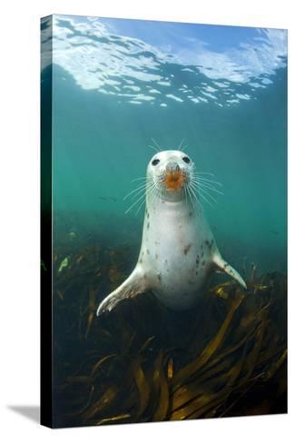 Grey Seal (Halichoerus Grypus) Underwater Amongst Kelp. Farne Islands, Northumberland, England-Alex Mustard-Stretched Canvas Print