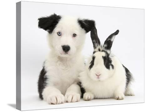 Black and White Border Collie Puppy and Black and White Rabbit-Mark Taylor-Stretched Canvas Print