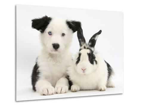 Black and White Border Collie Puppy and Black and White Rabbit-Mark Taylor-Metal Print