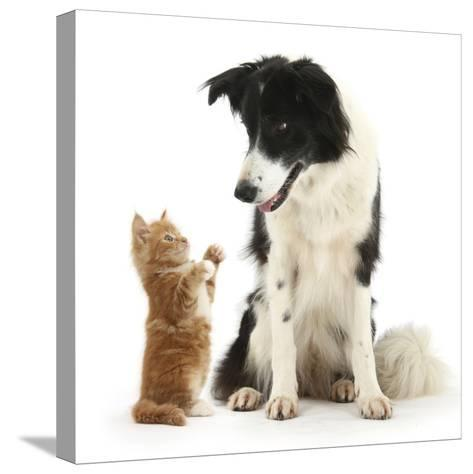 Black-And-White Border Collie Looking at Ginger Kitten-Mark Taylor-Stretched Canvas Print