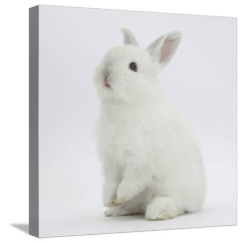 Young White Domestic Rabbit Sitting Up on its Haunches-Mark Taylor-Stretched Canvas Print
