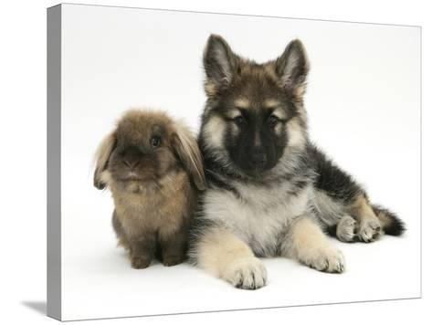 German Shepherd Dog (Alsatian) Bitch Puppy, Echo, with Lionhead Rabbit-Mark Taylor-Stretched Canvas Print