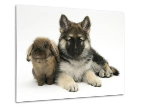 German Shepherd Dog (Alsatian) Bitch Puppy, Echo, with Lionhead Rabbit-Mark Taylor-Metal Print