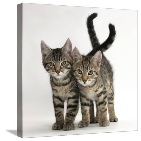 Tabby Kittens, Stanley and Fosset, 12 Weeks Old, Walking Together-Mark Taylor-Stretched Canvas Print