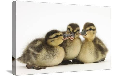 Three Mallard (Anas Platyrhynchos) Ducklings, 1 Week Old, Captive-Mark Taylor-Stretched Canvas Print