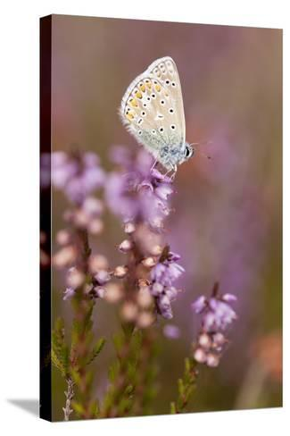 Common Blue Butterfly (Polyommatus Icarus), Resting on Flowering Heather, Dorset, England, UK-Ross Hoddinott-Stretched Canvas Print