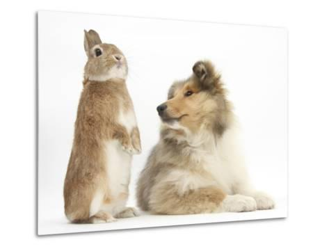 Rough Collie Puppy, 14 Weeks, with Sandy Netherland Dwarf-Cross Rabbit-Mark Taylor-Metal Print