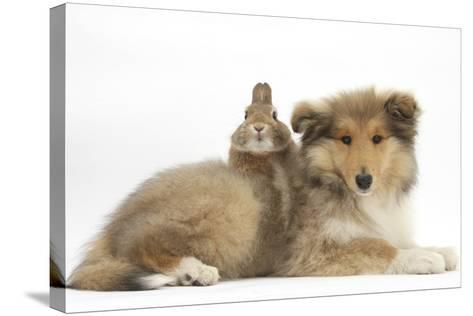 Rough Collie Puppy, 14 Weeks, with Sandy Netherland Dwarf-Cross Rabbit-Mark Taylor-Stretched Canvas Print