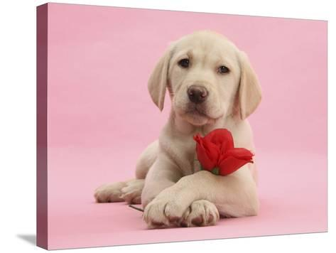 Yellow Labrador Retriever Bitch Puppy, 10 Weeks, with a Red Rose-Mark Taylor-Stretched Canvas Print