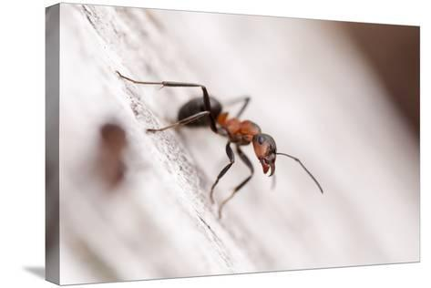 Wood Ant (Formica Rufa) Arne Rspb Reserve, Dorset, England, UK, July. 2020Vision Book Plate-Ross Hoddinott-Stretched Canvas Print