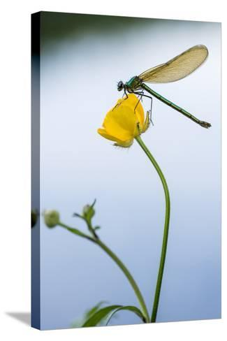Bannded Demoiselle Resting on Buttercup, Lower Tamar Lakes, Cornwall - Devon Border, UK. May-Ross Hoddinott-Stretched Canvas Print